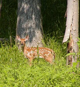 A NOT UNCOMMON SIGHT WHEN TAKING AN EARLY SUMMER WALK IN THE WOODS BEHIND THE ABBEY.