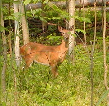 Typical scene during a mid-summer walk through our ample forest.